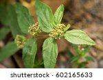 garden spurge  asthma weed ... | Shutterstock . vector #602165633