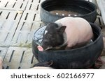 pigs on farm | Shutterstock . vector #602166977