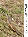 Small photo of butterfly lizards group of agamid lizards of which very little is known. They are native to Thailand
