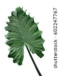 Small photo of Alocasia Odora Giant Upright Elephant Ear, Night-scented Lily leaf isolated on white