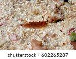 nudibranch aceh indonesia scuba ... | Shutterstock . vector #602265287