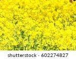 canola flower | Shutterstock . vector #602274827