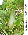 Small photo of Chinese Watermelon, Wax gourd. in CUCURBITACEAE Family with fruit and leaves