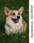 welsh corgi pembroke | Shutterstock . vector #60235969