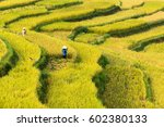 Terraced Rice Fields In Thanh...