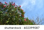 Oleander Flowers And Blue Sky