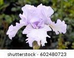 light blue flower of purple... | Shutterstock . vector #602480723