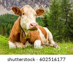 Cow Face Portrait. Cow Lying O...