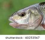 fallfish head closeup | Shutterstock . vector #60253567