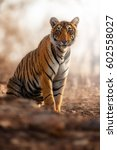 young tiger female in a... | Shutterstock . vector #602558027