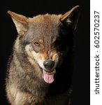 Small photo of growling Wolf studio shot with black background