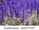 lavender flowers in the garden | Shutterstock . vector #602577497