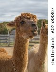 Small photo of alpaca chewing