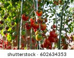 Tomatoes In The Garden...