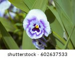 Viol Flower On Green Grass...