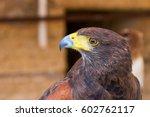 Portrait Golden Eagle With Blu...