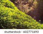 Morning Field Of Green Clover...