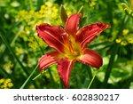 Red Flowers Daylily. Beautiful...