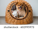 Stock photo close up of two lovely and pretty puppy dogs pomeranian and chihuahua with funny faces and 602995973