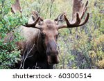 Male Or Bull Moose In Denali...