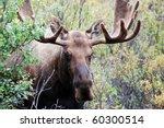 Male Or Bull Moose In Denali...