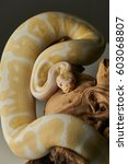 Albino Royal Python With Yello...