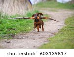 dog running with stick playful... | Shutterstock . vector #603139817