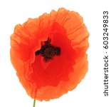 Red Poppies Isolated On A Whit...
