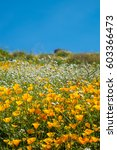 california poppies and...   Shutterstock . vector #603366473