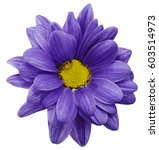 Stock photo violet chrysanthemum flower isolated on white background with clipping path closeup no 603514973