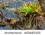 tropical epiphyte on a tree in... | Shutterstock . vector #603685103