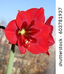 Small photo of Flowering red amaryllis, houseplant with long leaves