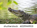 Image Of A Crocodile On The...
