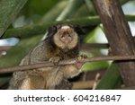 brazilian monkey this monkey is ... | Shutterstock . vector #604216847