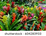 Bromeliad In Various Colors ...