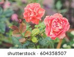 Stock photo classic vintage pink rose in garden 604358507