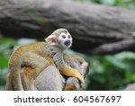 Adorable Baby Squirrel Monkey...