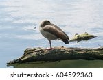 Brown Wild Goose Standing On A...