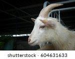 Dairy Goat At Kundasang  Sabah...