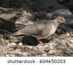 Small photo of White-tipped Dove (Leptotila verreauxi) at Laguna Atascosa NWR in Cameron County, Texas