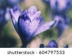Beautiful Violet Crocus Flower...