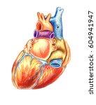 the human heart viewed from... | Shutterstock . vector #604941947