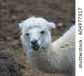 Small photo of Alpaca, white ilama, funny animal, standing
