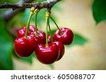 cherries in the orchard | Shutterstock . vector #605088707