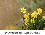 Closeup Of Daffodils And Grape...