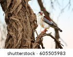 Small photo of African pygmy falcon, Polihierax semitorquatus, smallest raptor in Africa, perched on branch with prey. Pygmy falcon, female feeding on agama. Wildlife photo, Kalahari desert, Botswana.