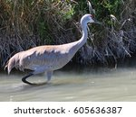 crane bird looking for lunch  | Shutterstock . vector #605636387