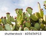 Cactus Landscape. Cultivation...