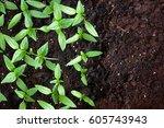 young green seedlings plants...   Shutterstock . vector #605743943