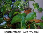 Small photo of Ivy Arum plant in a basket planter. Focus on basket, leaves mostly blurred.